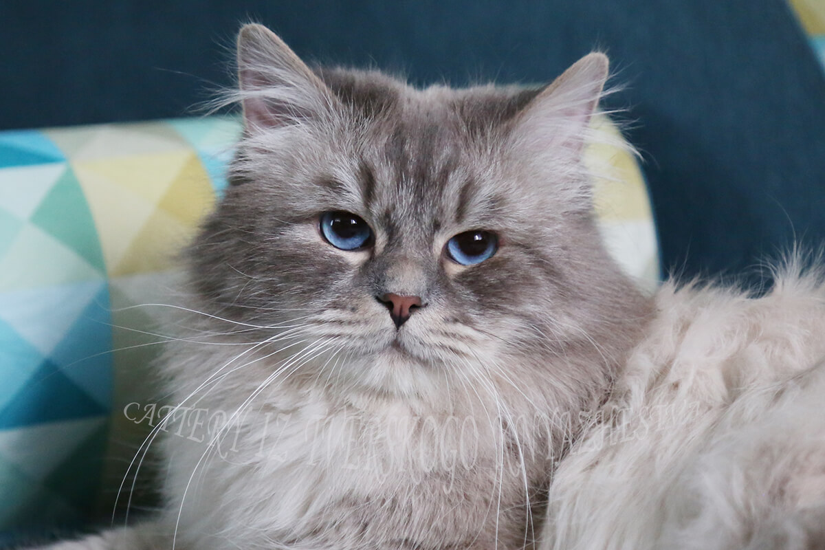 catteries of Siberian cats in Russia