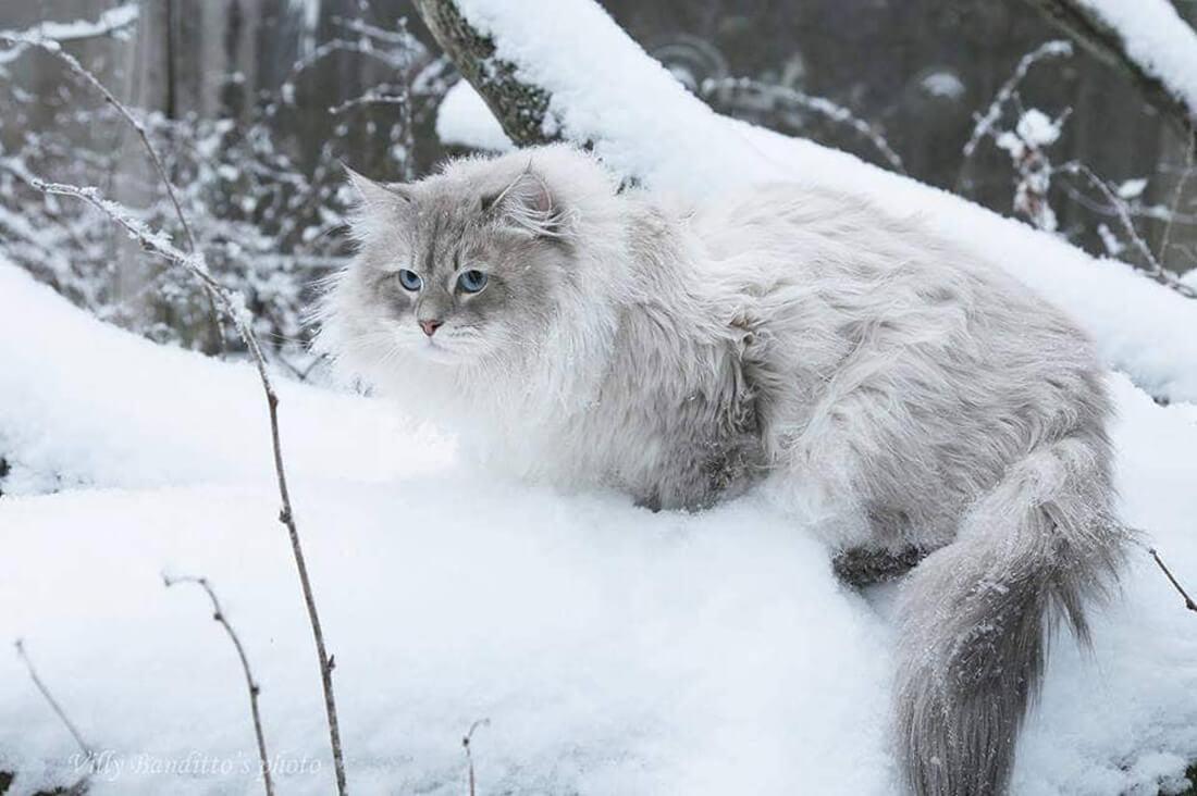Siberian cats in a wild.  ANTEY IZ TVERSKOGO KNYAZHESTVA