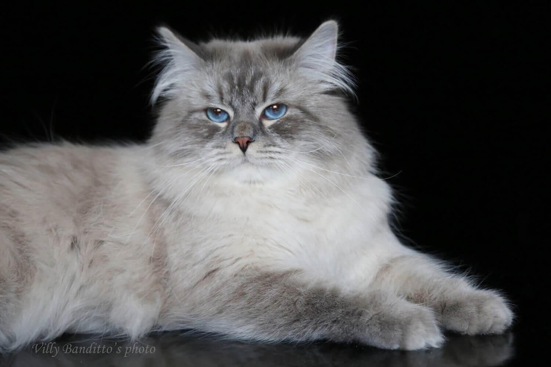 Siberian cat JAMIRO IZ TVERSKOGO KNYAZHESTVA