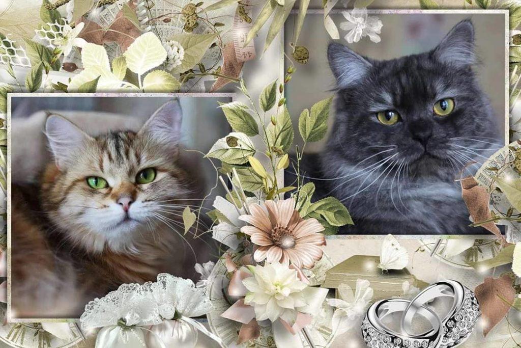 Siberian kittens from the cattery IZ TVERSKOGO KNYAZHETVA