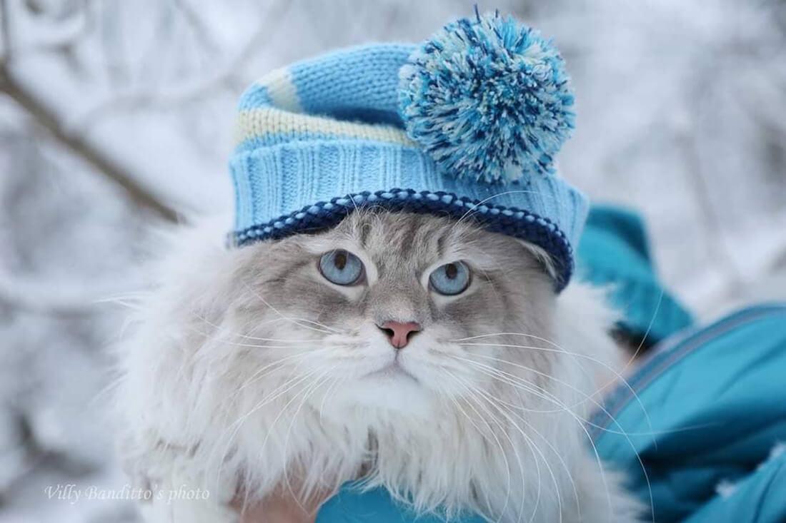Siberian cat ANTEY IZ TVERSKOGO KNYAZHESTVA