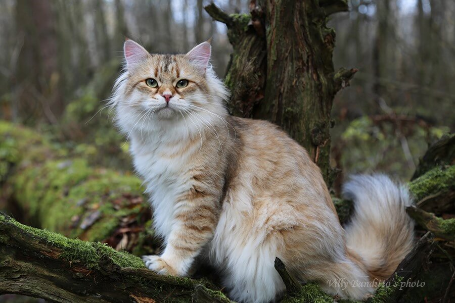 Siberian cat from Russia as a pet