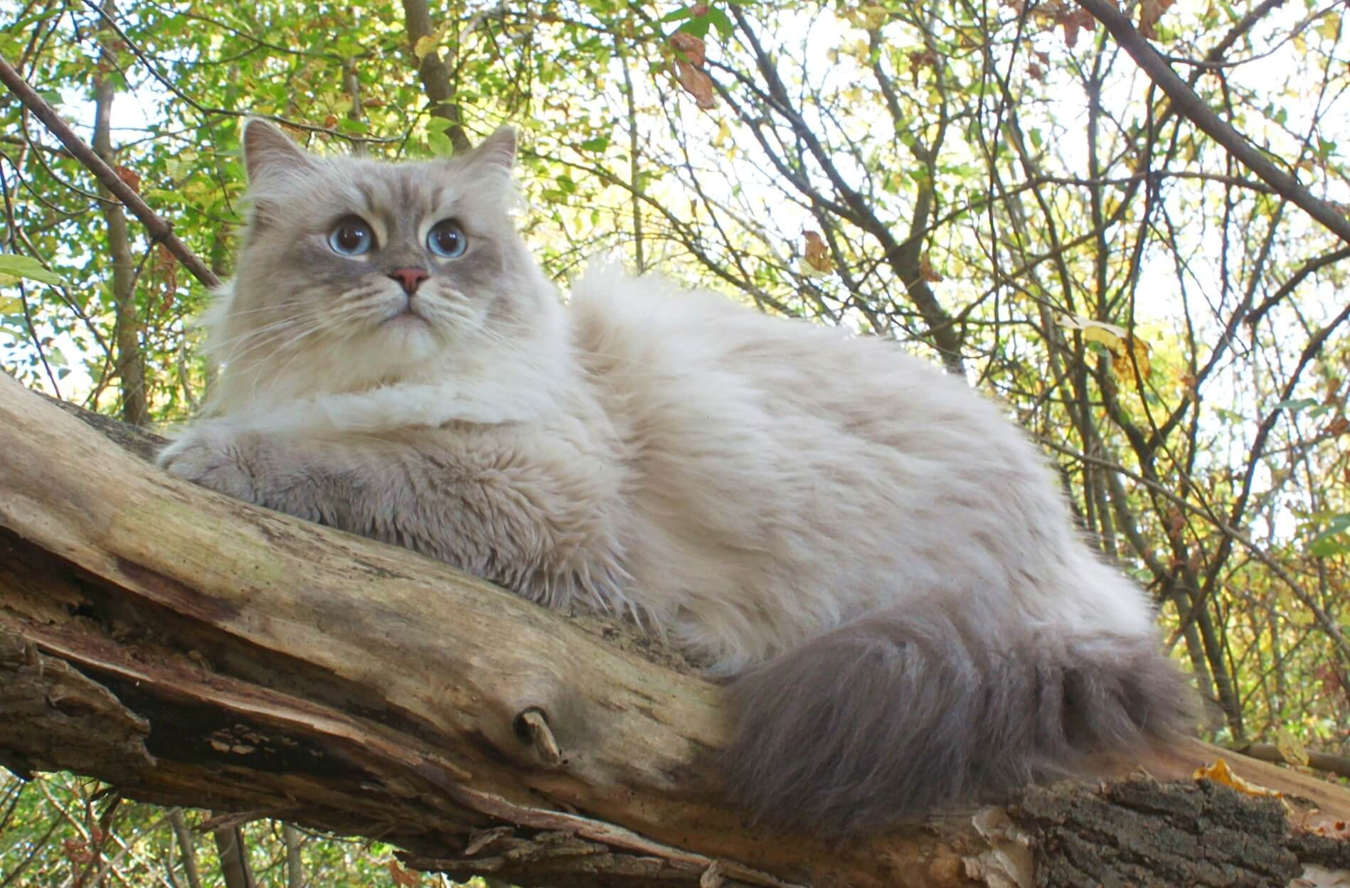 Siberian cat on nature