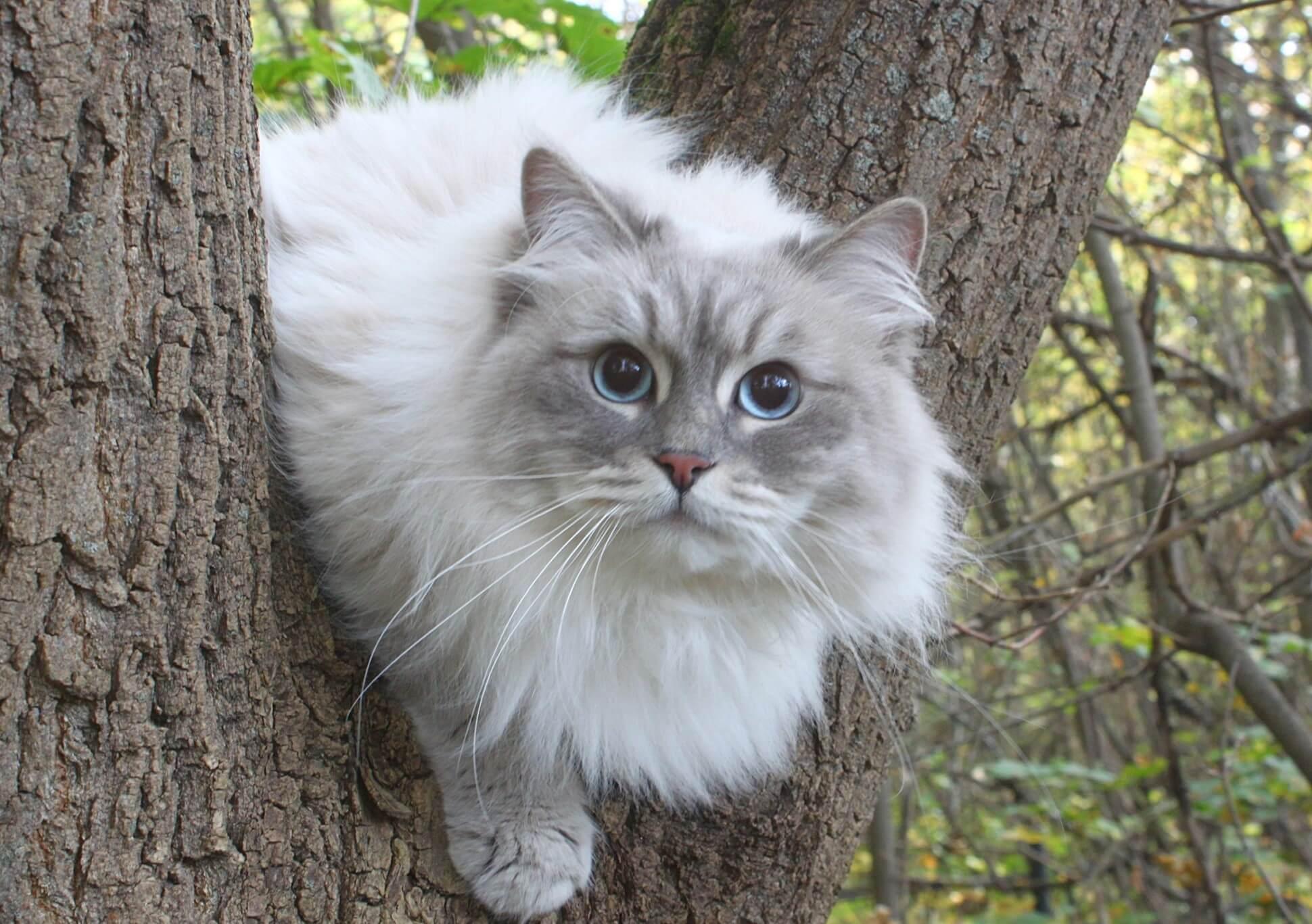 Siberian cat on a walk