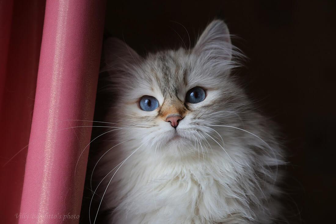 Amazing very charismatic Siberian Neva masquerade cat - the Queen за the cattery IZ TVERSKOGO KNYAZHESTVA