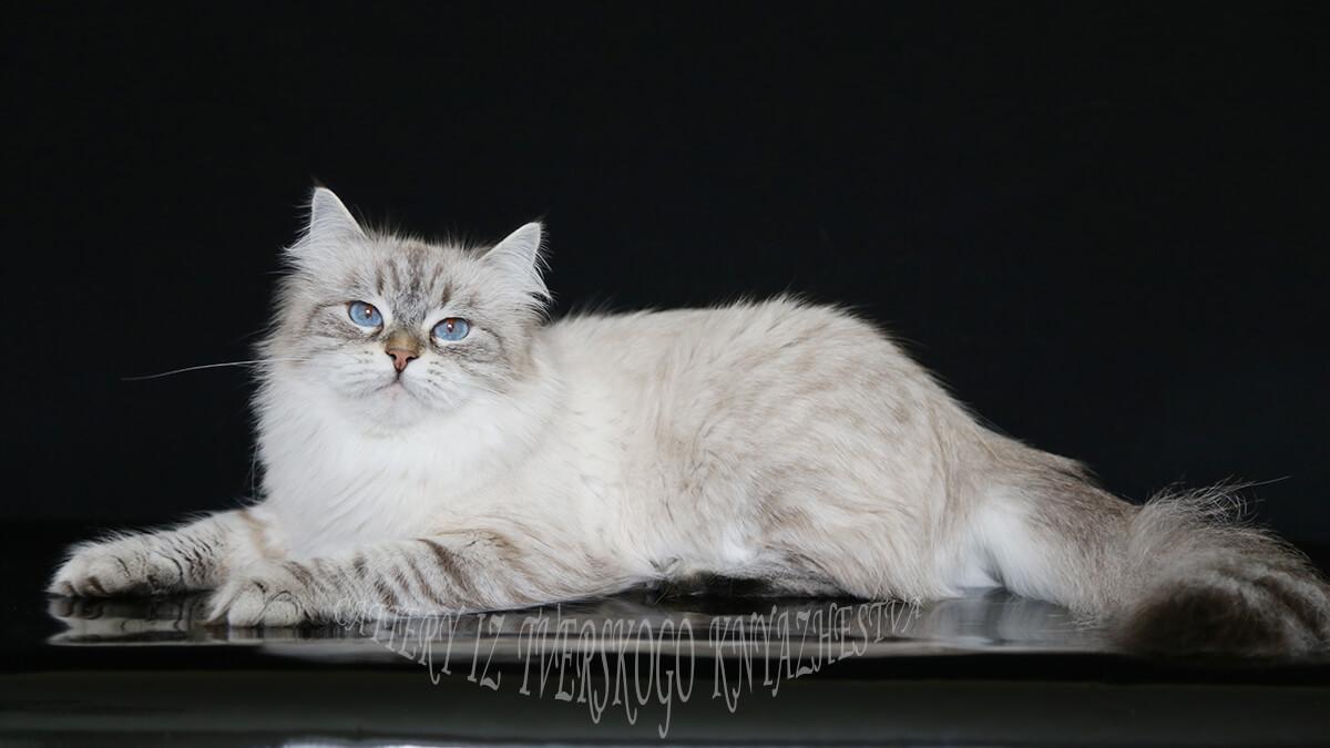 beautiful eyes of Siberian cats