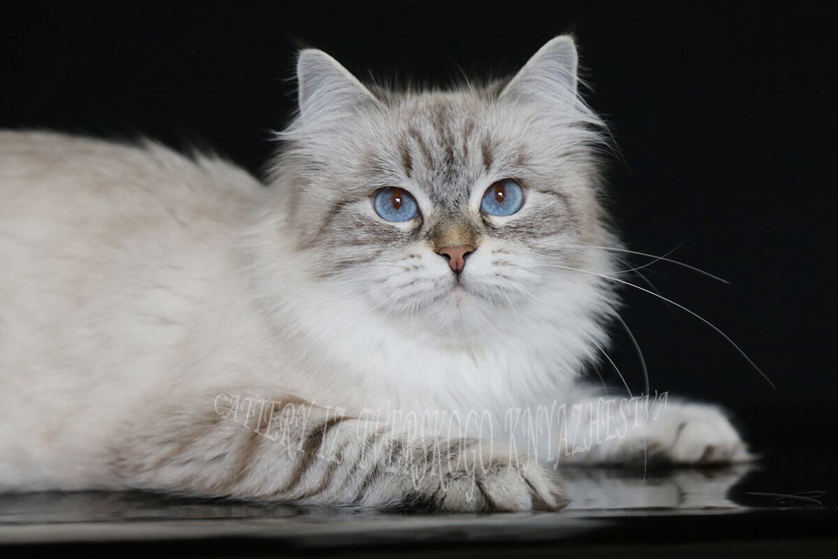 buy a kitten color Siberian color point