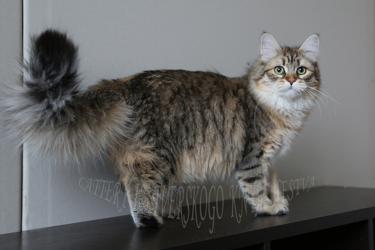 A real Siberian cat from Russia