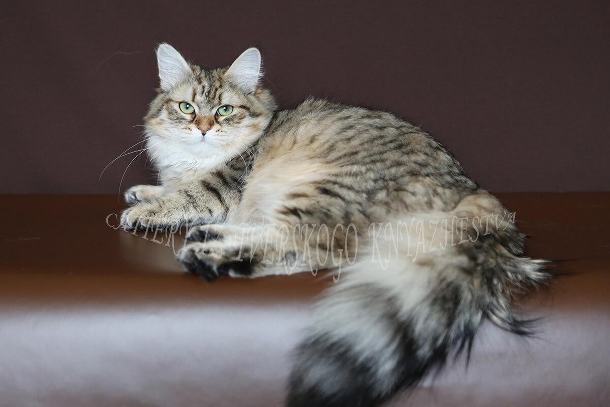 buy a Siberian kitten