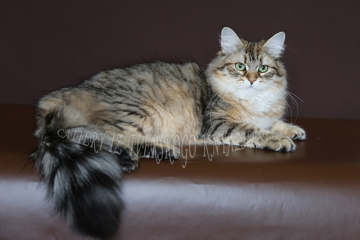 Cattery of Siberian cats in Russia