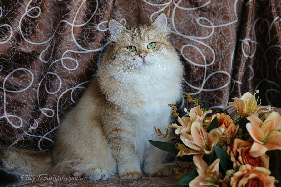 Siberian cats from Russia.  SOFOCHKA IZ TVERSKOGO KNYAZHESTVA
