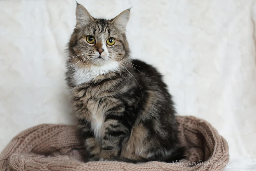 Siberian cat as a pet