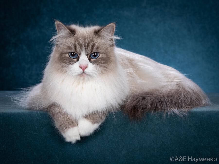 Blue-eyed Siberian cat