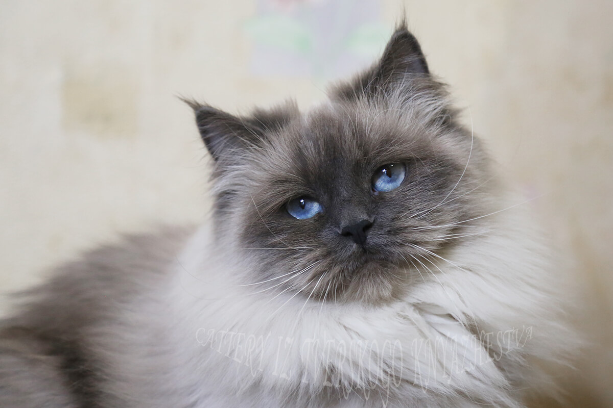 buy Siberian Neva masquerade kitten