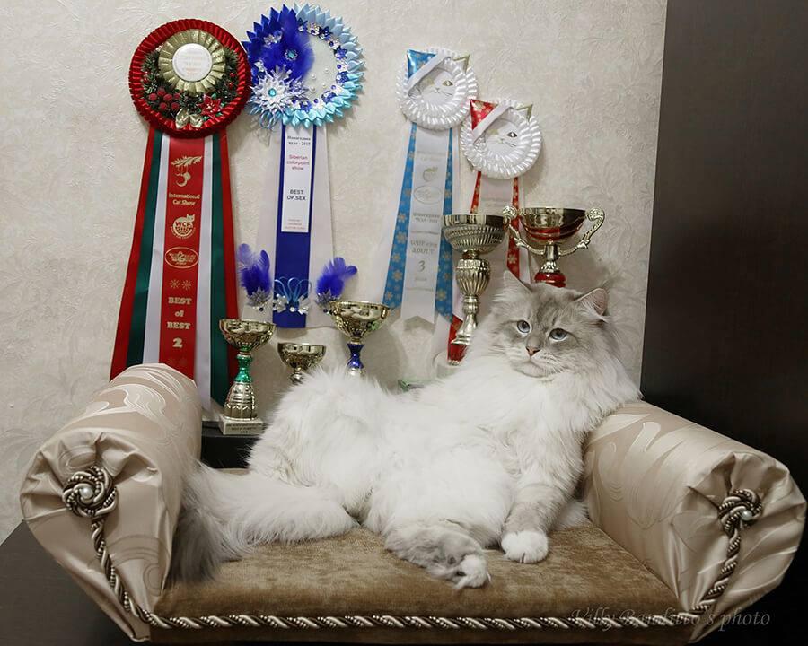 Siberian Neva masquerade cat Antey Iz Tverskogo Knyazhestva with his prizes