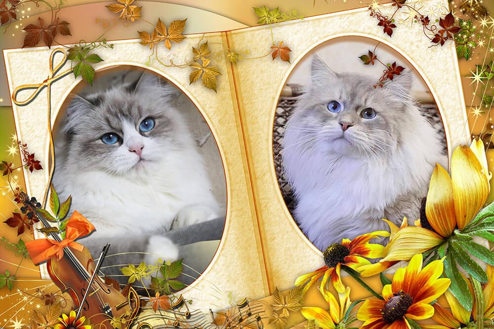 """New litter """"F"""" IZ TVERSKOGO KNYAZHESTVA, available Siberian Neva masquerade kittens from Neva masquerade cats Antey Iz Tverskogo Knyazhestva and Jasenta Iz Tverskogo Knyazhestva"""