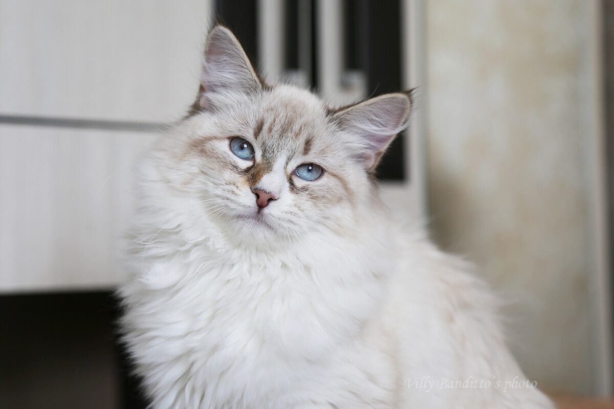 Buy Siberian color point kitten - Neva masquerade