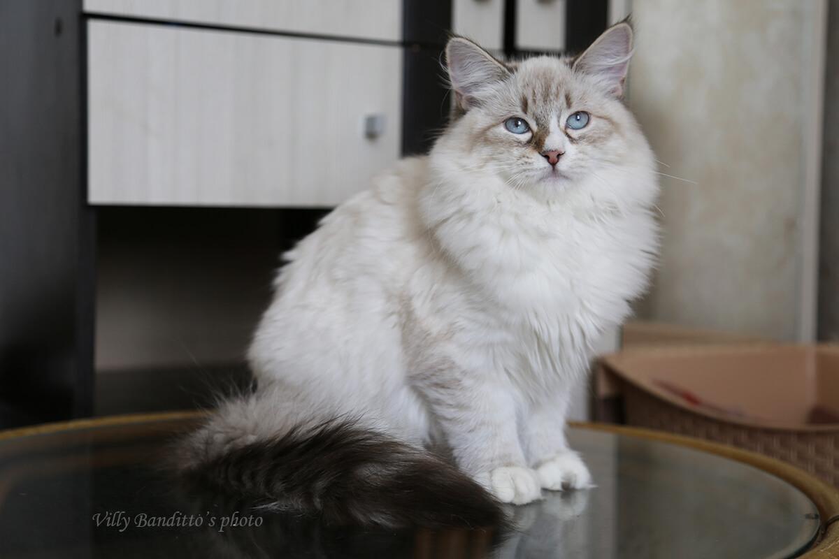 Seal tabby with white Neva masquerade kitten for sale