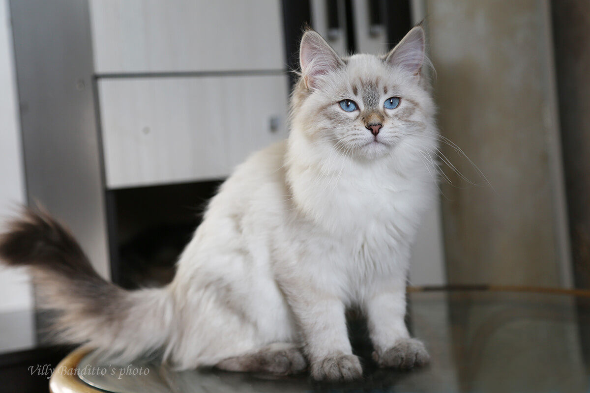 Available Neva masquerade kitten with fantastic blue eye color