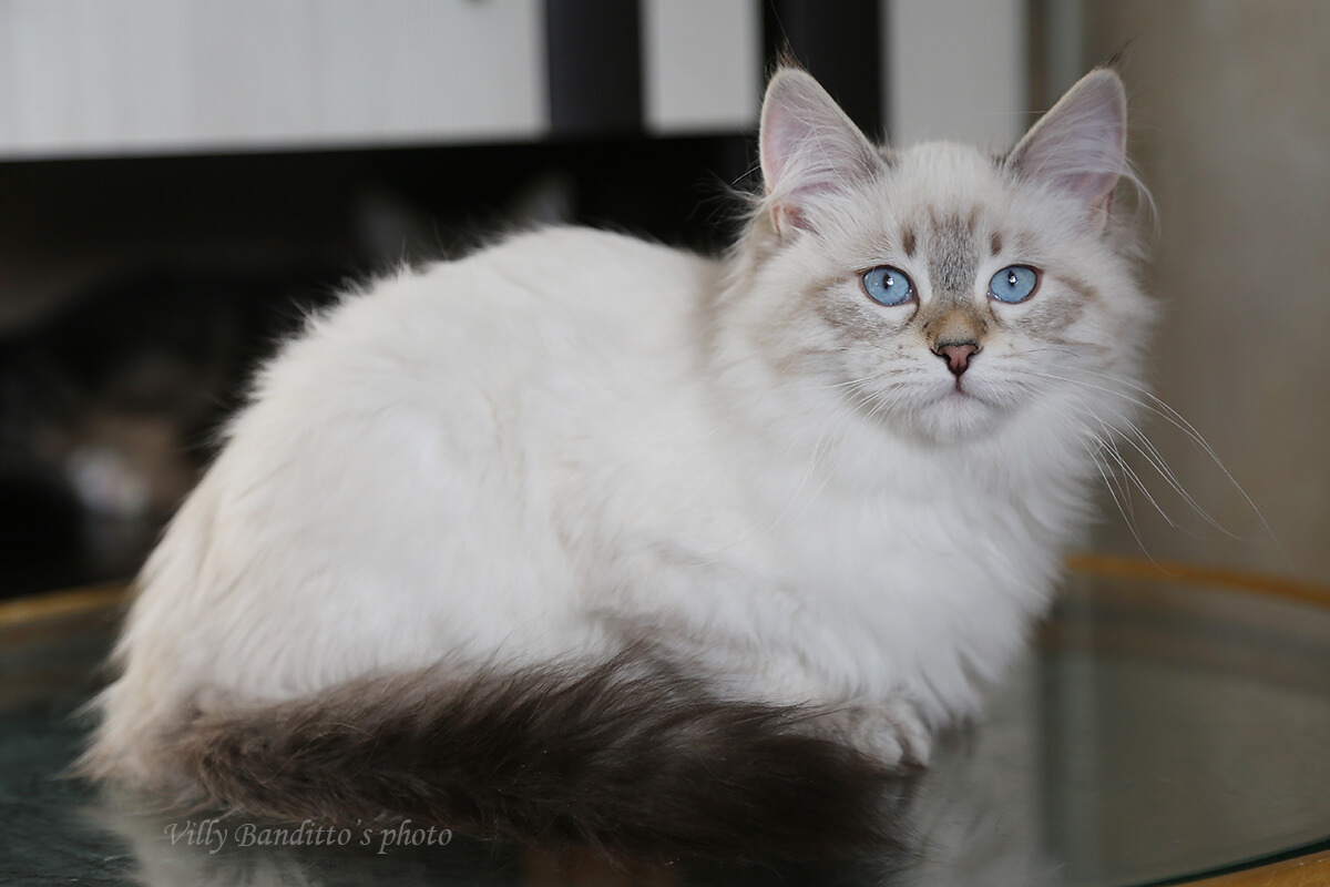 Amazing blue-eyed Neva masquerade seal tabby point kitten for sale