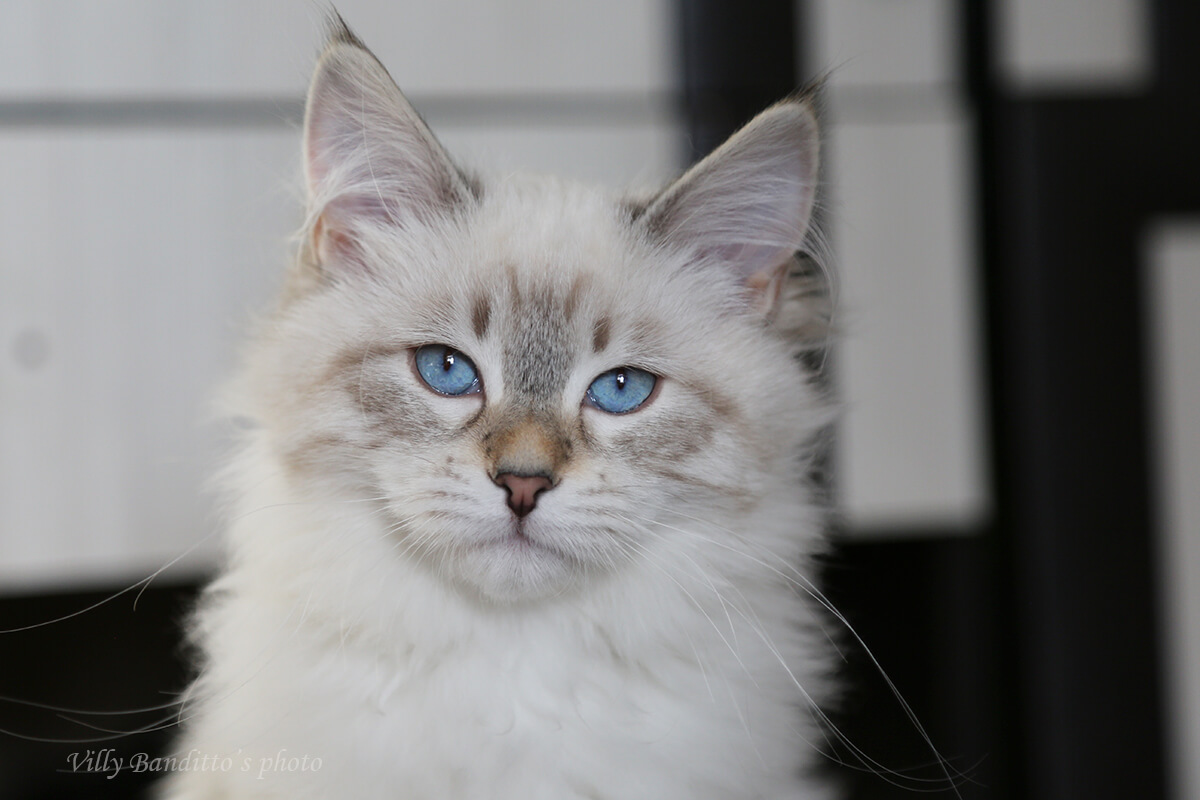 Available seal tabby point Neva masquerade kitten