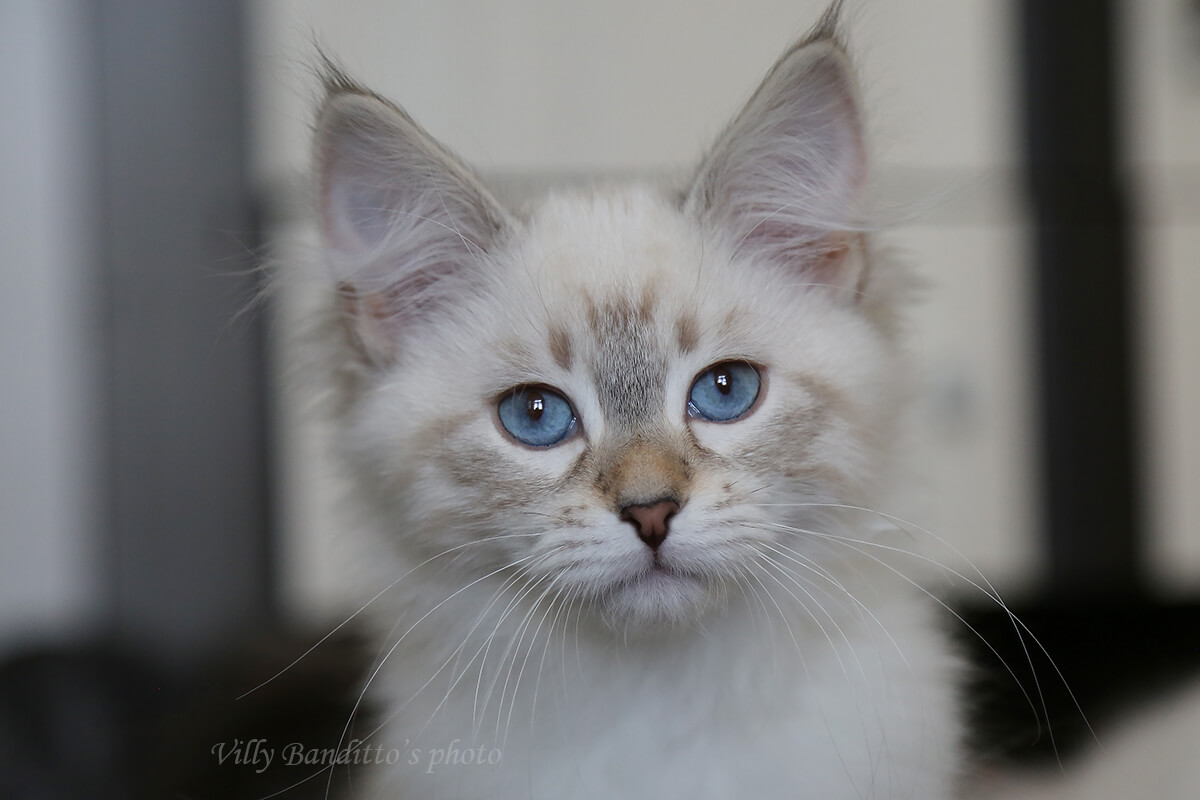 Available Neva masquerade kitten with fantastic blue color of eyes