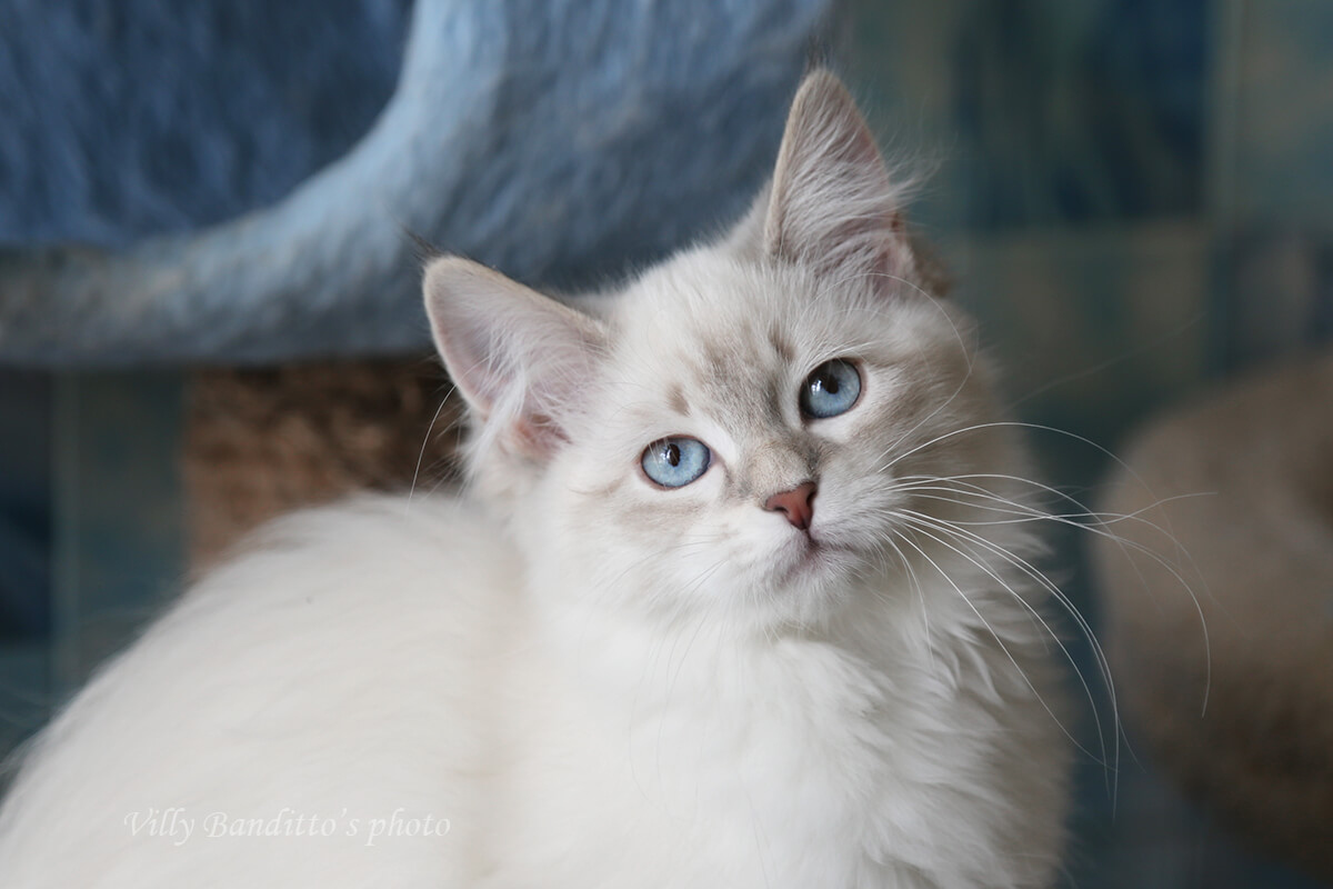 Beautiful Neva masquerade kitten with blue eyes for sale