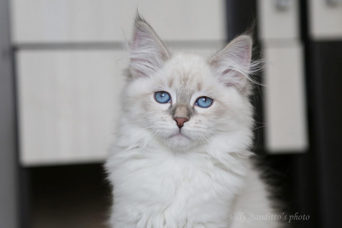 Available beautiful Neva masquerade kitten with blue eyes