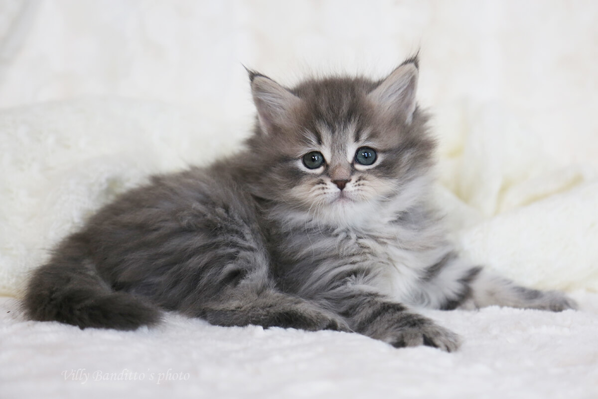 Siberian kittens from cattery LYUMUR