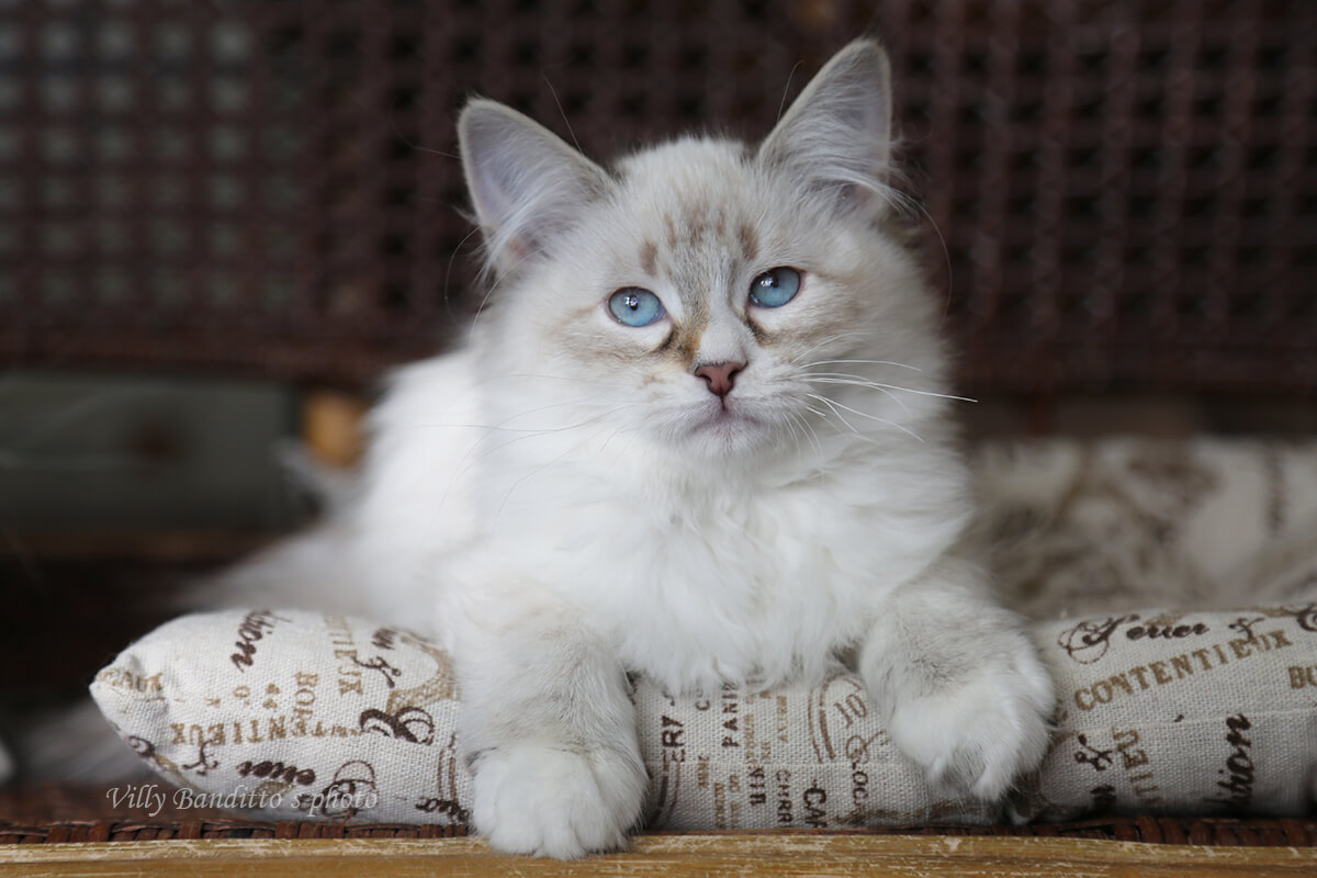 Neva masquerade kittens in Russia