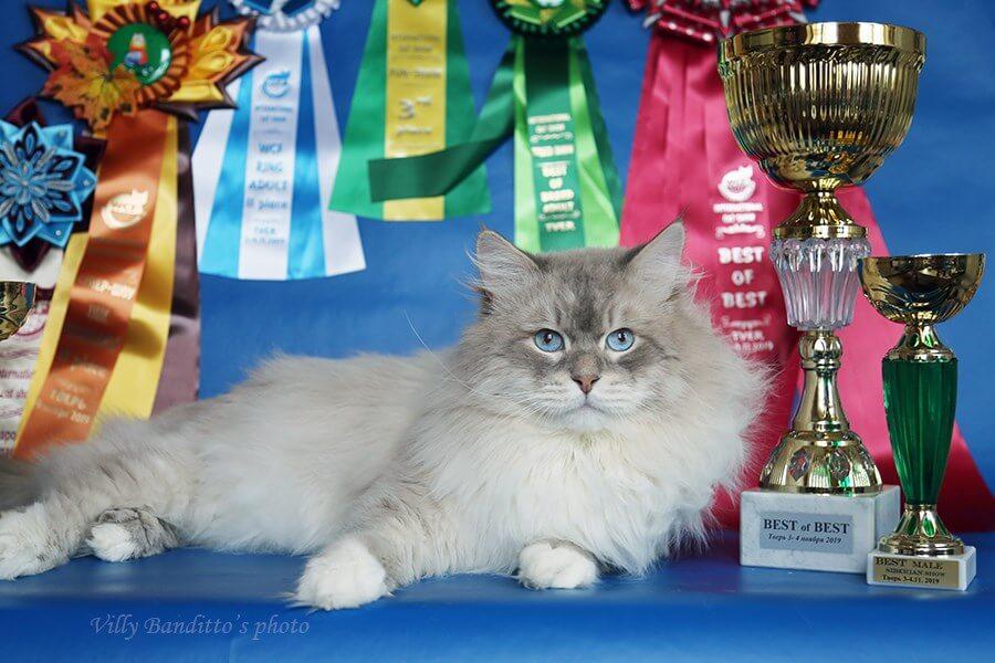 Siberian Neva masquerade cat Antey Iz Tverskogo Knyazhestva
