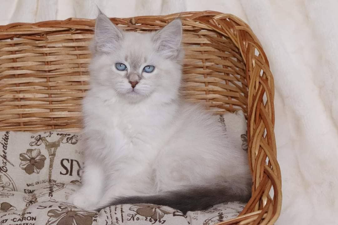 Available Neva mzquerade kittens