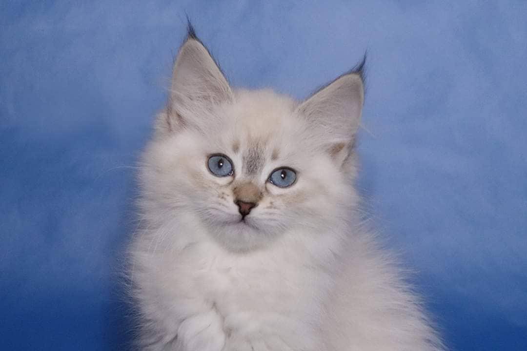 Available Neva masquerade kittens