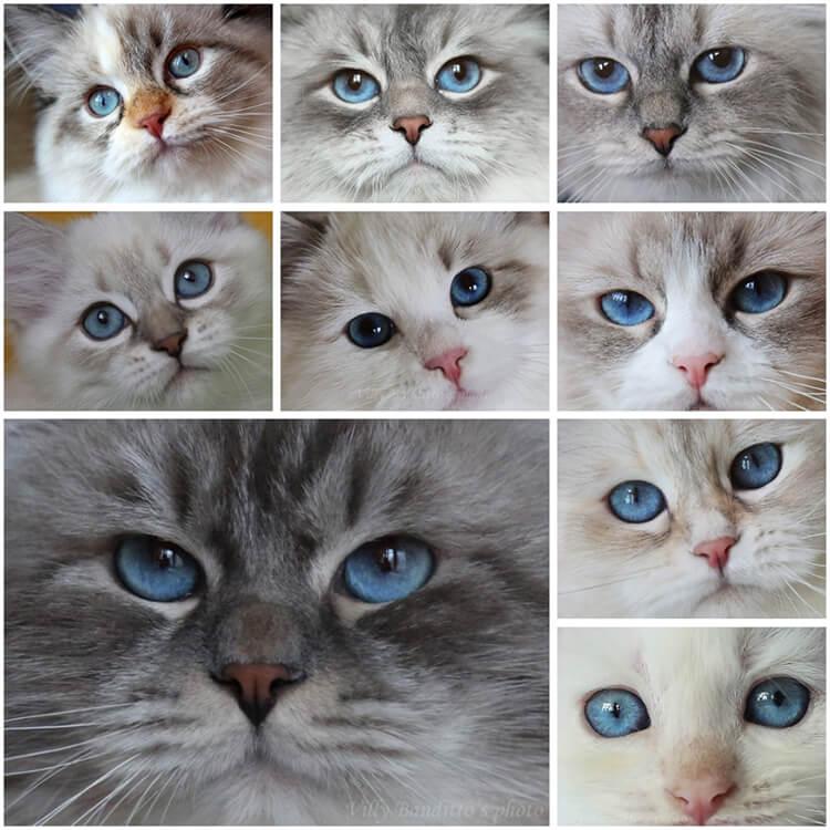 Siberian Neva masquerade cats with beautiful blue eyes from cattery Iz Tverskogo Knyazhestva and LyuMur