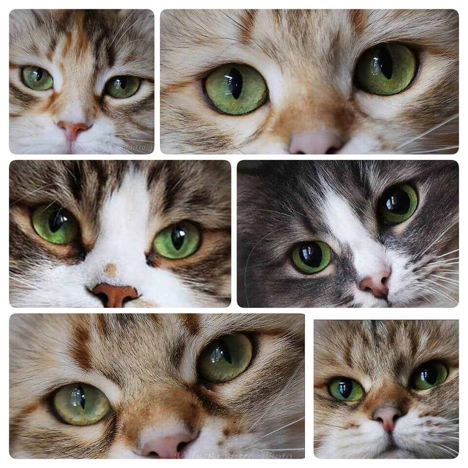 Siberian cats with beautiful green eyes from catteries Iz Tverskogo Knyazhestva and LyuMur