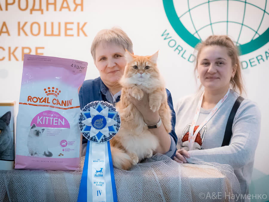 Red Siberian cat Artas Iz Tverskogo Knyazhestva on cat show