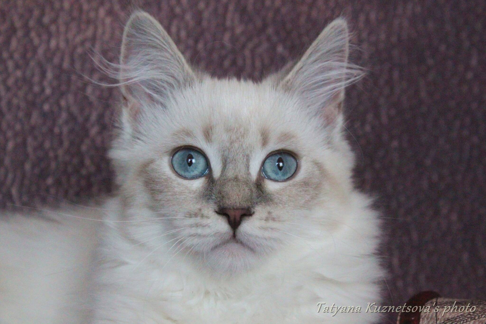 Siberian colorpoint kitten with blue eyes