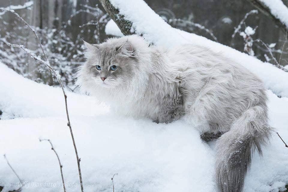 Siberian Neva masquerade cat Antey Iz Tverskogo Knyazhestva in winter forest