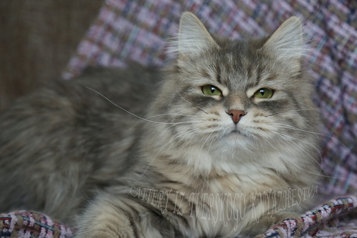 Breeding Siberian cats of the Siberian cattery