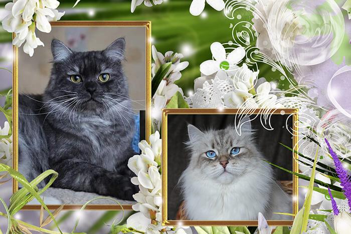 Available Siberian and Neva masquerade kittens - beautiful cute boys