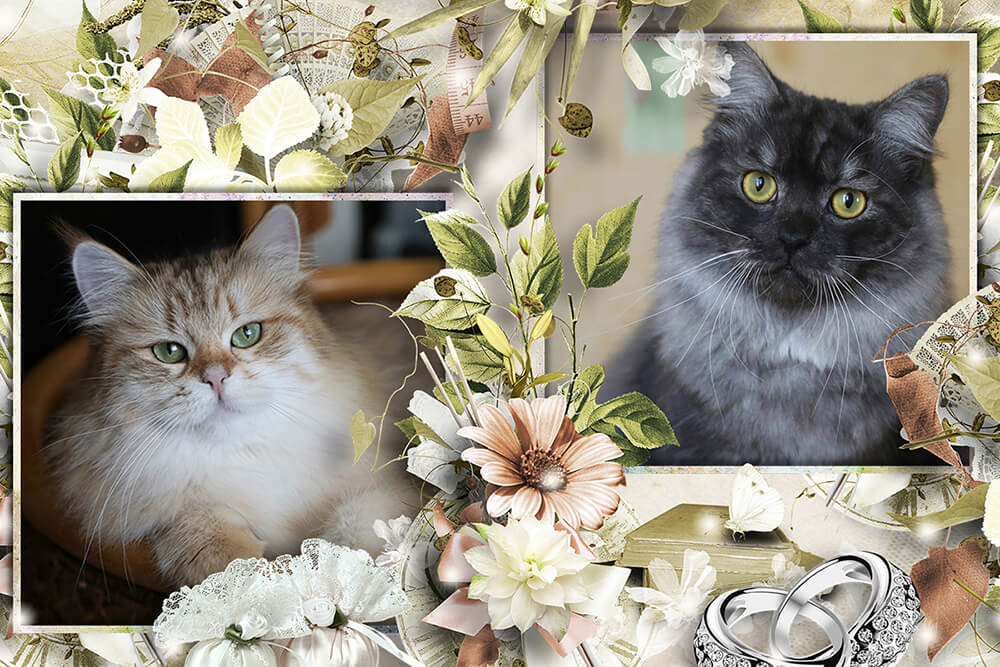 We expecting Siberian and Neva masquerade kittens from great Siberian couple