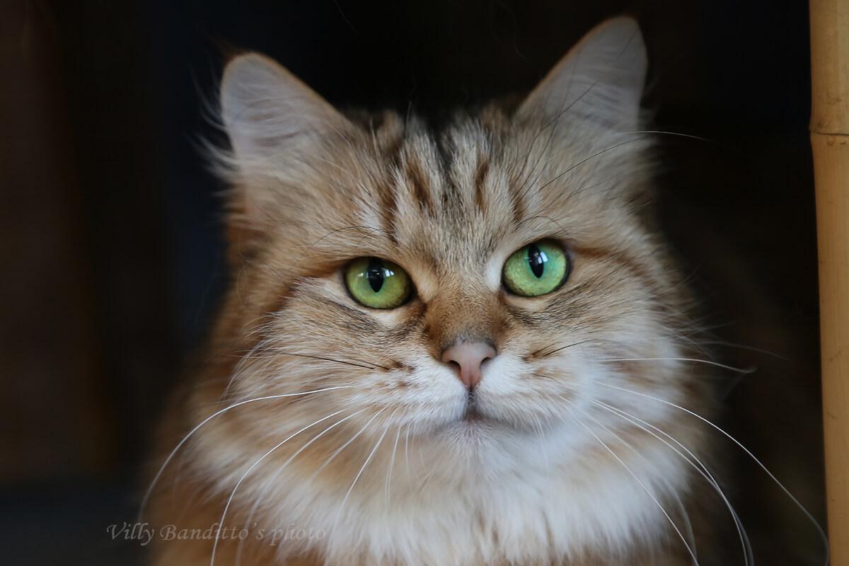 Golden Siberian Queen with amazing green eyes Indiana Iz Odissei