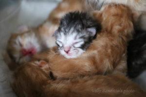 NEW SIBERIAN AND NEVA MASQUERADE KITTENS WERE BORN!