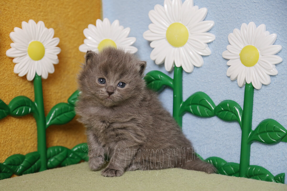 to buy a Siberian kitten of the color blue solid