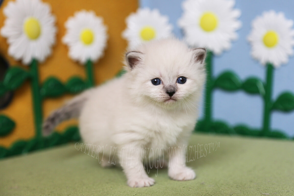 kittens of native breed
