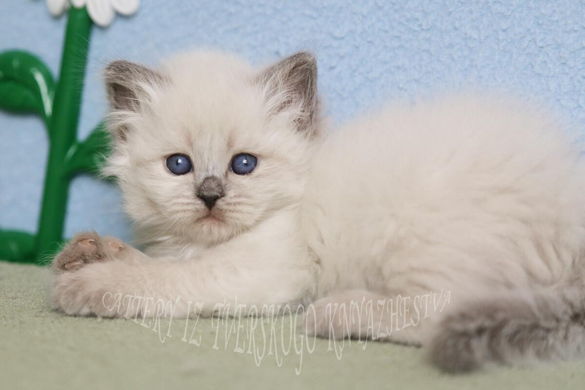 Fantastische blauäugige Neva maskerade Kätzchen zum Verkauf-charming girl from cattery Iz Tverskogo Knyazhestva