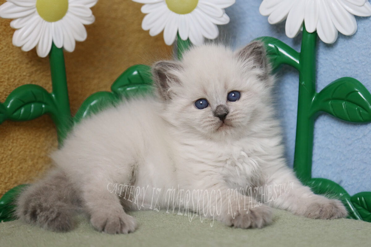 Neva masquerade kitten in vendita da allevamento iz Tverskogo Knyazhestva