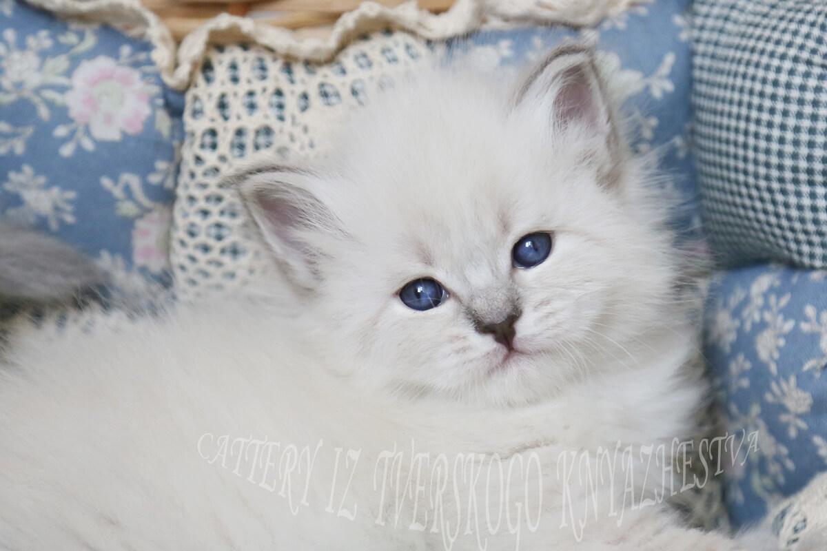 Disponibile Neva masquerade gattino da allevamento siberiano in Russia