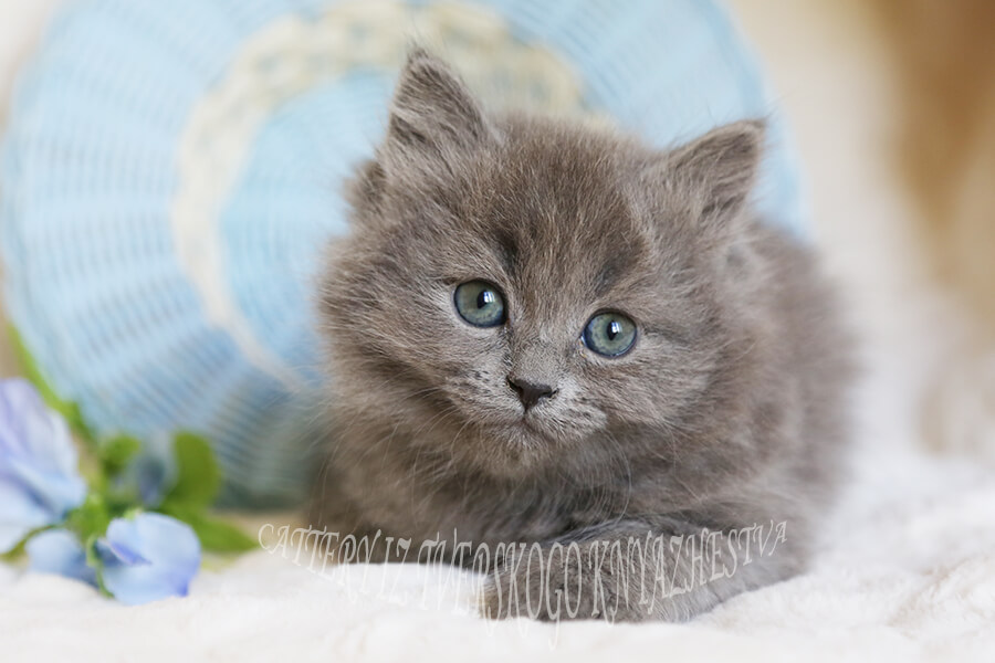 Siberian kittens with green eyes