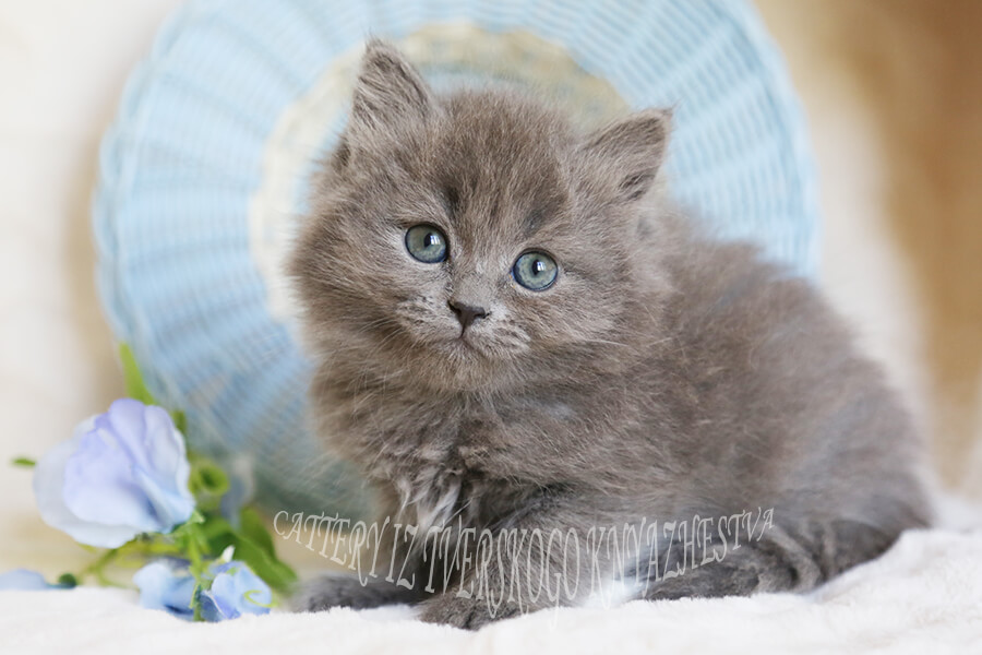 beautiful Siberian kittens of traditional color